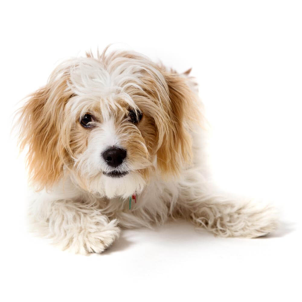 Portrait of a Cavachon on a white background in Thame, Oxfordshire