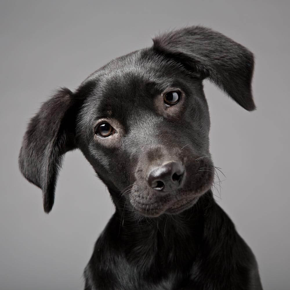Dog Portrait of a Labrador Retriever Puppy on a grey background in Thame, Oxfordshire