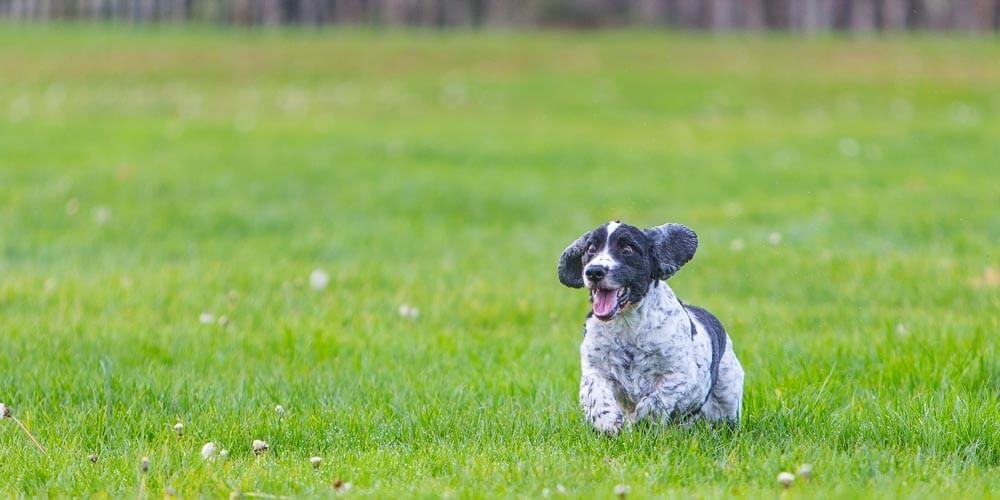 An excited spaniel running through a field photographed during a dog portrait experience by Mark Hewitson Photography of Thame, Oxfordshire
