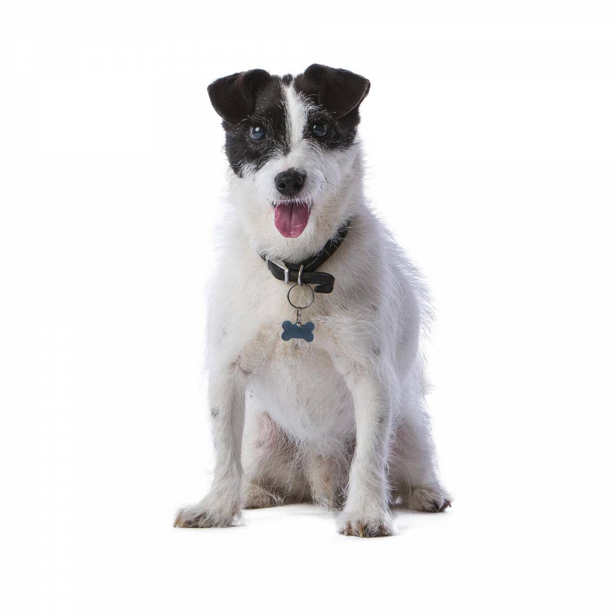 Jack Russell Terrier portrait by Mark Hewitson Photography of Thame