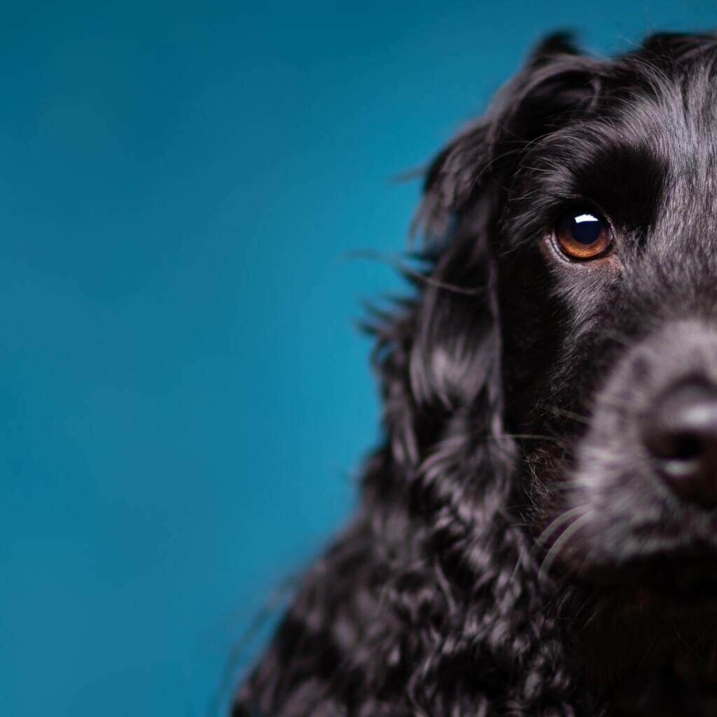 Show Cocker Spaniel Dog Studio Portrait by Mark Hewitson of Mark Hewitson Photography, Thame, Oxfordshire