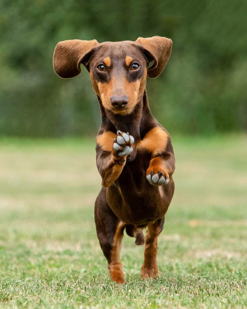 Dachshund running outside by Mark Hewitson of Mark Hewitson Photography, Thame, Oxfordshire