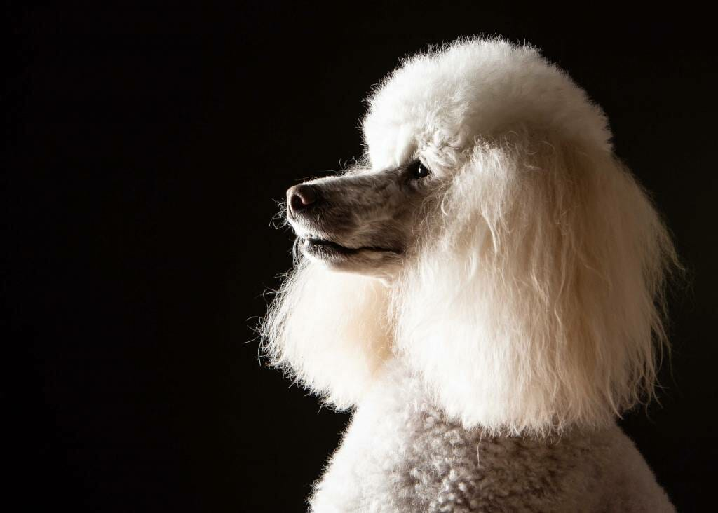 Poodle on a black background by Mark Hewitson of Mark Hewitson Photography, Thame, Oxfordshire