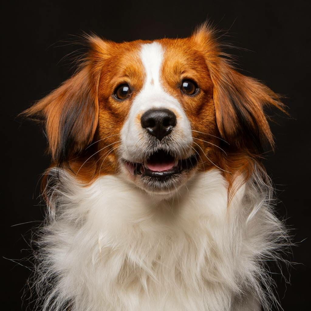 Kooikerhondje Puppy on a black background by Mark Hewitson Photography of Thame, Oxfordshire