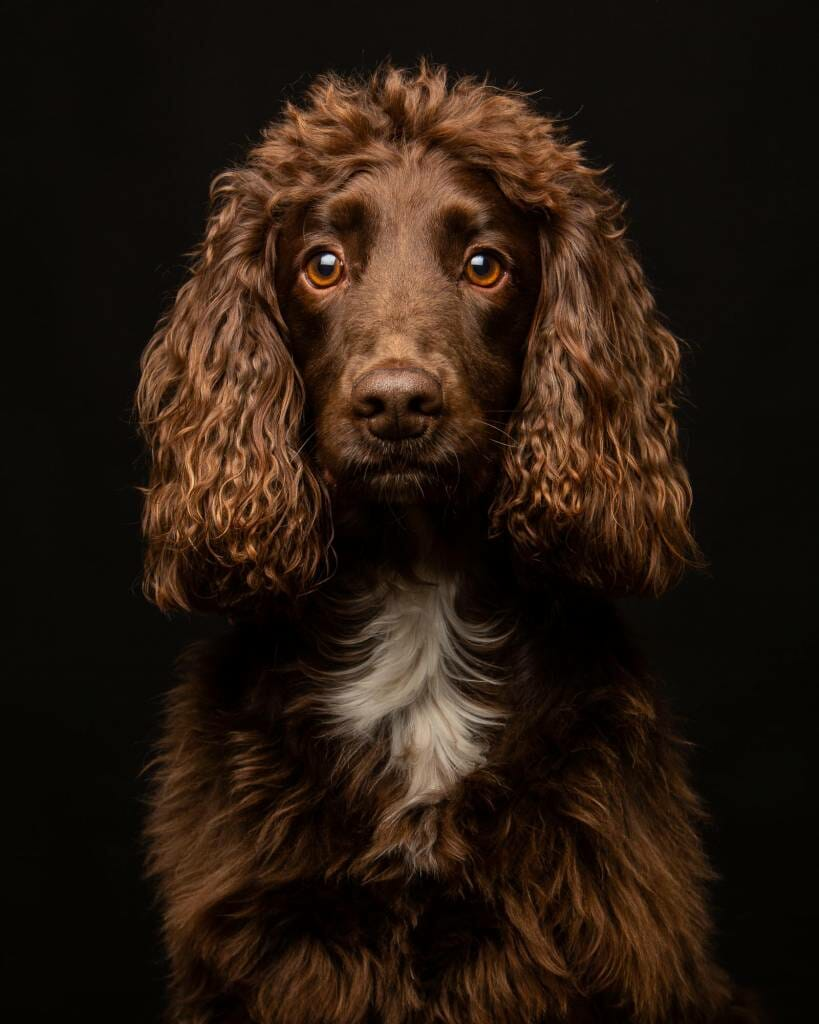 Cocker Spaniel on a black background by Mark Hewitson Photography of Thame, Oxfordshire