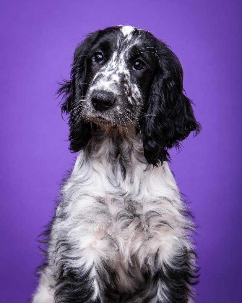 Cocker Spaniel on a purple background by Mark Hewitson of Mark Hewitson Photography, Thame, Oxfordshire