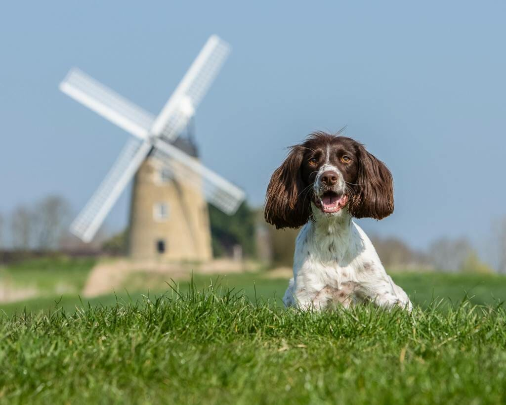 Springer Spaniel Location Dog Photography by Mark Hewitson Photography of Thame, Oxfordshire