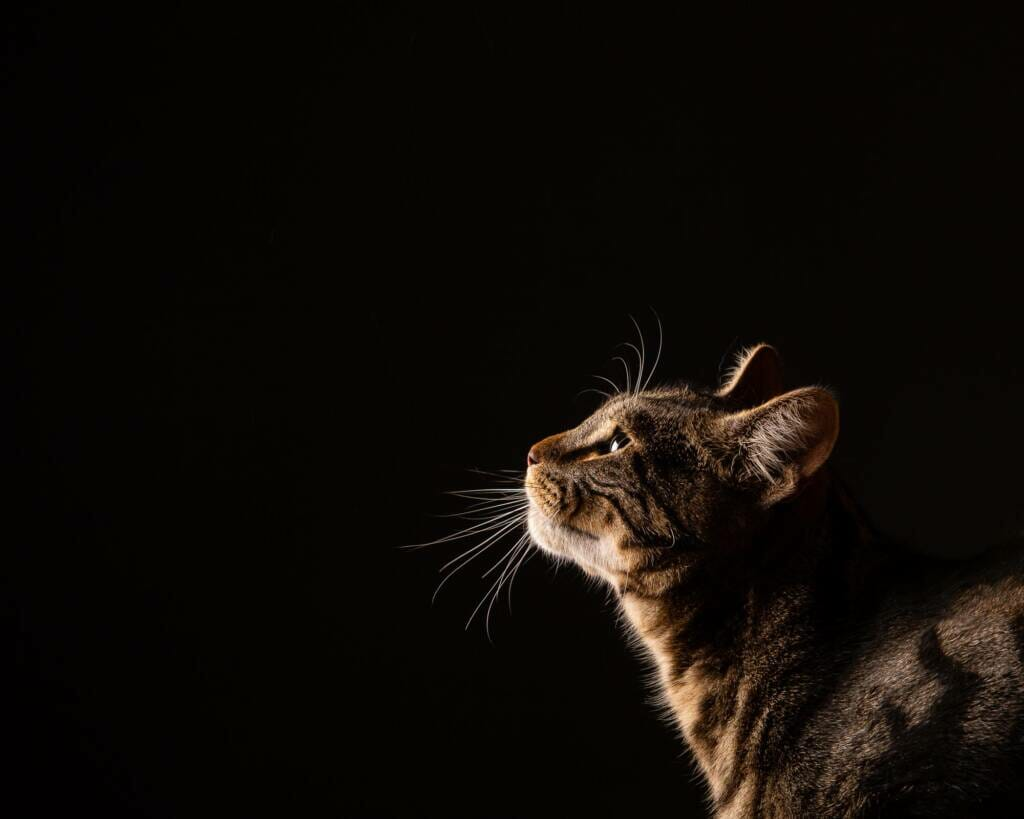 Cat Portraits - Photography by Mark Hewitson Photography of Thame, Oxfordshire