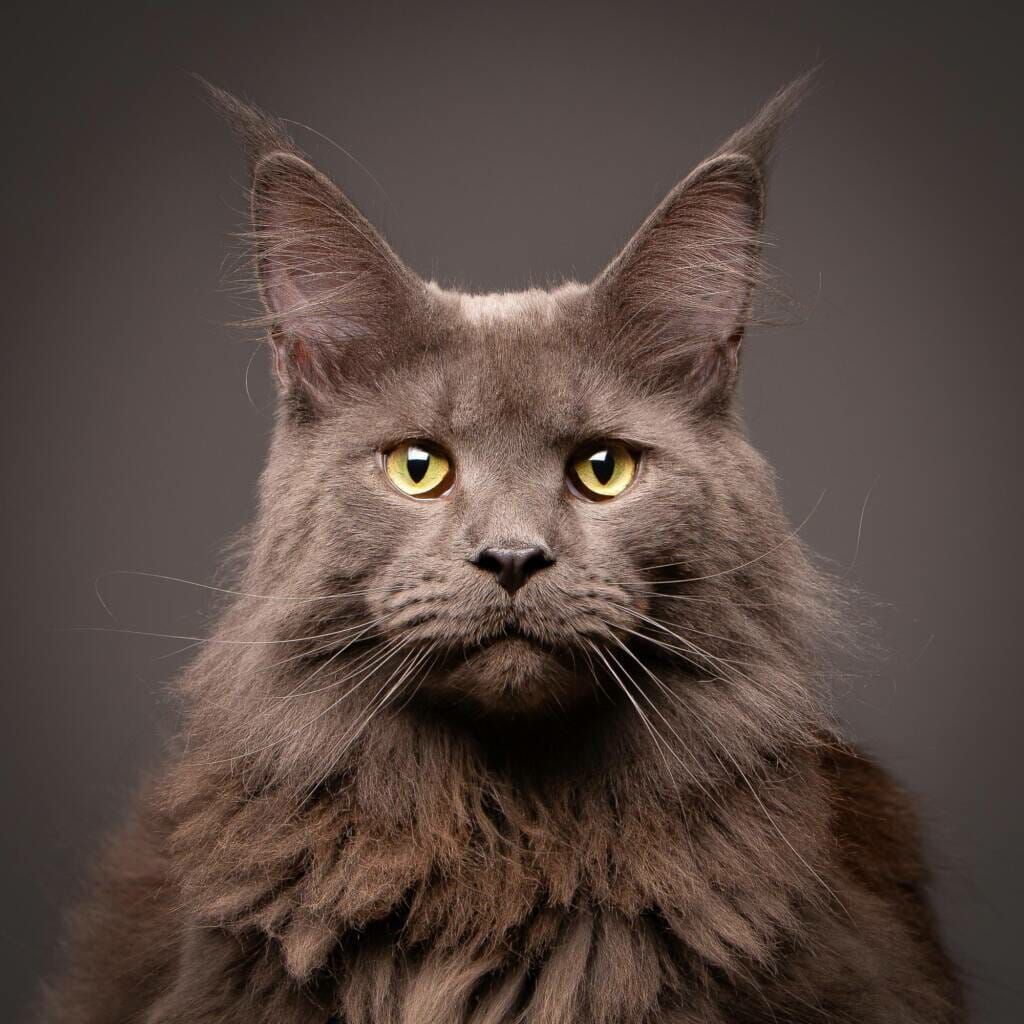 Maine Coon Cat Portraits - Photography by Mark Hewitson Photography of Thame, Oxfordshire