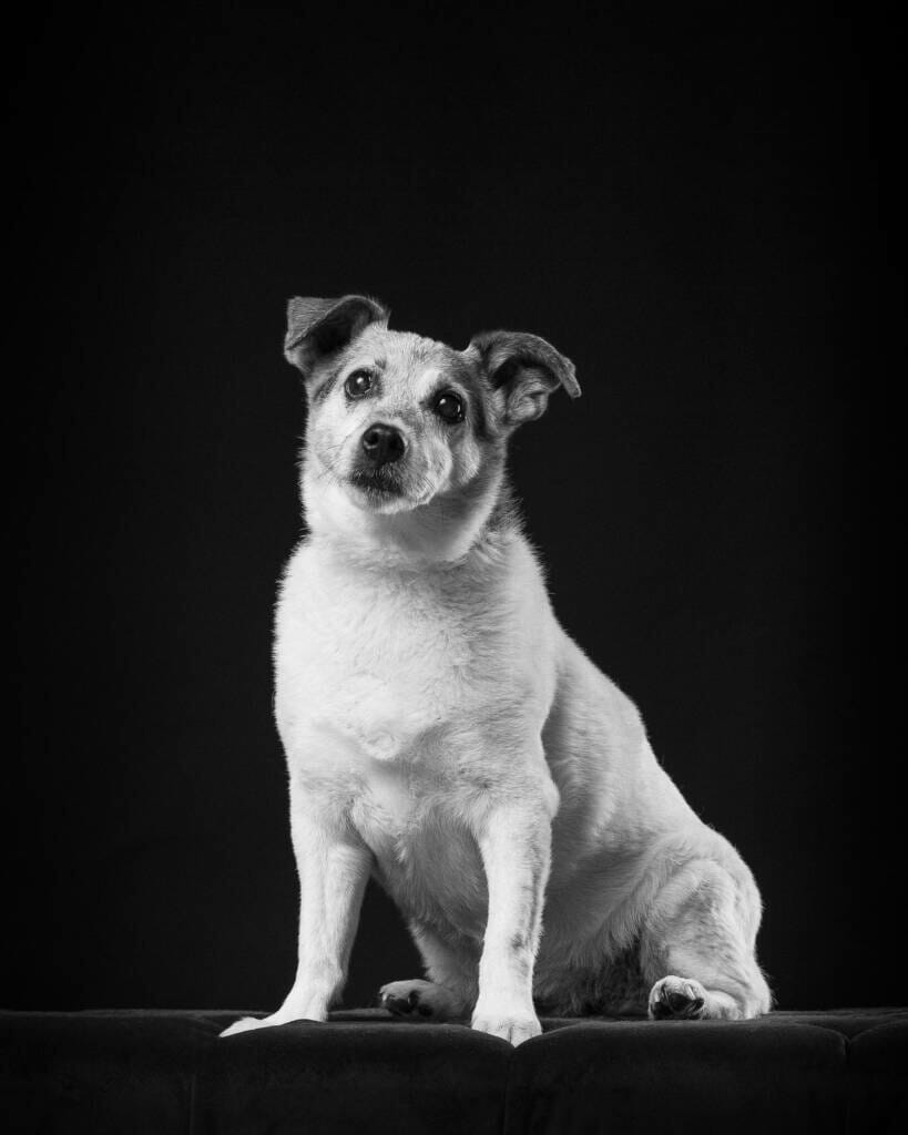Terrier Dog Studio Portrait by Mark Hewitson of Mark Hewitson Photography, Thame, Oxfordshire