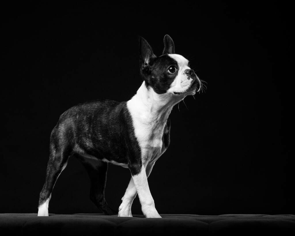 Boston Terrier Dog Portrait by Mark Hewitson of Mark Hewitson Photography, Thame, Oxfordshire