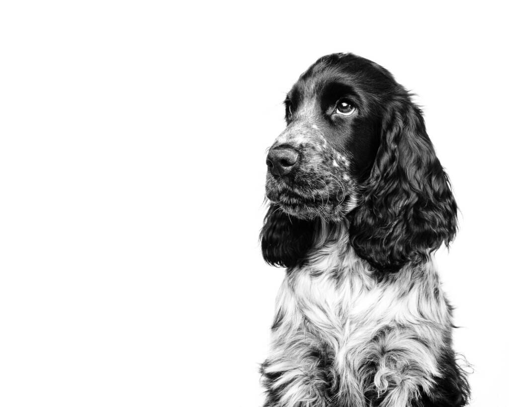 Cocker Spaniel Puppy Dog Studio Portrait by Mark Hewitson of Mark Hewitson Photography, Thame, Oxfordshire
