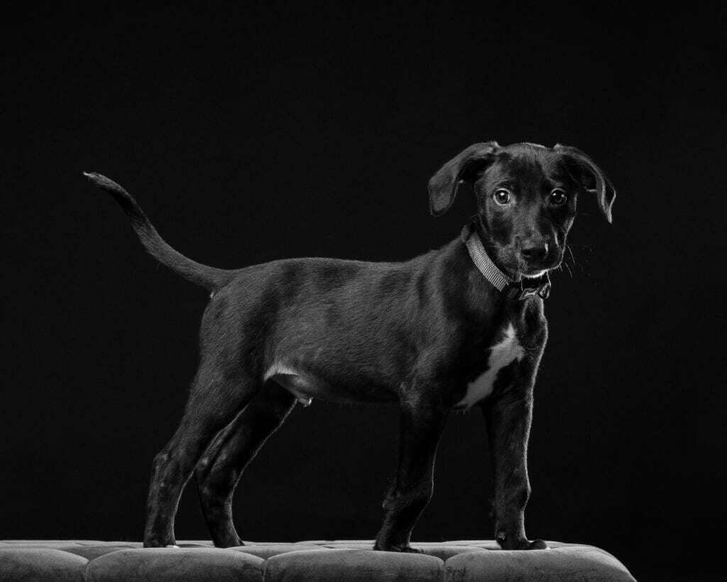 Labrador Collie Cross Puppy Dog Studio Portrait by Mark Hewitson of Mark Hewitson Photography, Thame, Oxfordshire
