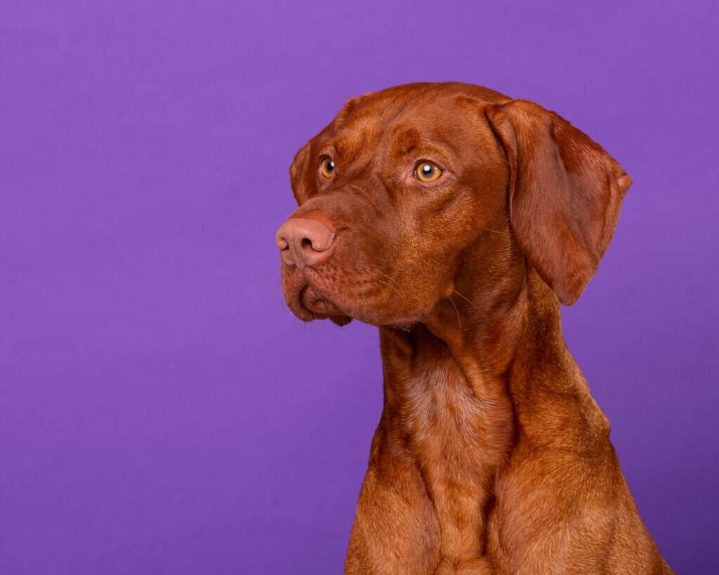 Hungarian Vizsla by Mark Hewitson of Mark Hewitson Photography, Thame, Oxfordshire