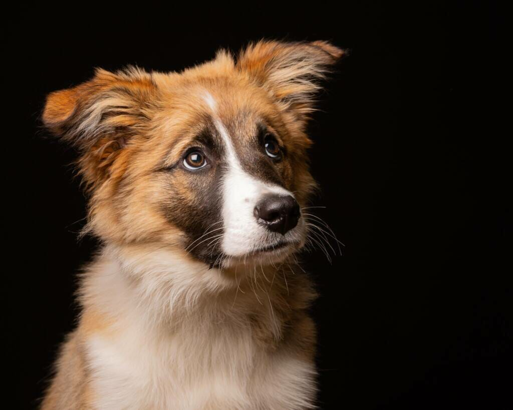 Border Collie Dog Portrait by Mark Hewitson of Mark Hewitson Photography, Thame, Oxfordshire